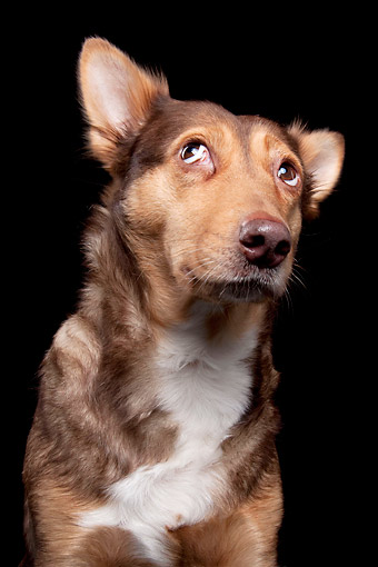 DOG 07 AC0018 01 © Kimball Stock Mixed Breed Dog Looking Up In Studio