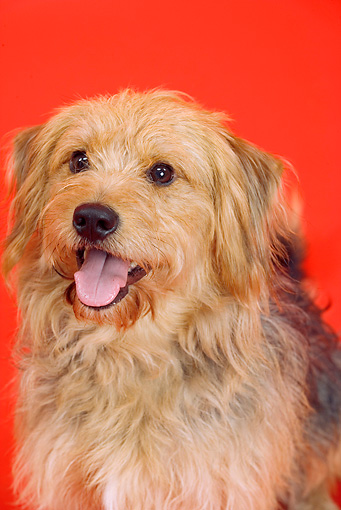 DOG 07 JE0005 01 © Kimball Stock Head Shot Of Mixed Breed Dog Sitting On Red Seamless