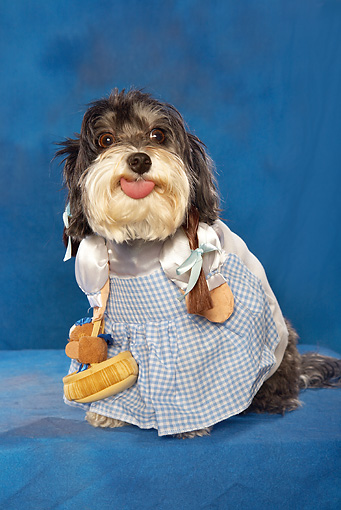 DOG 07 MQ0112 01 © Kimball Stock Humorous Mixed Breed Dog Wearing Dorothy Costume In Blue Studio