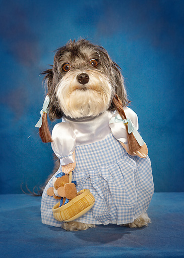 DOG 07 MQ0113 01 © Kimball Stock Humorous Mixed Breed Dog Wearing Dorothy Costume In Blue Studio