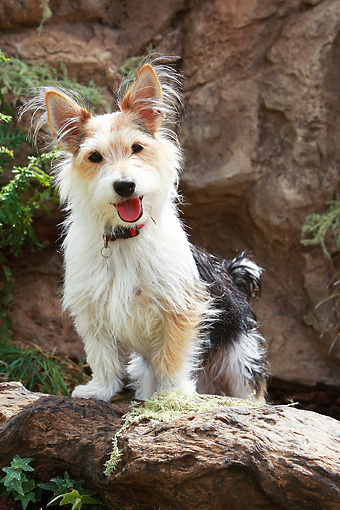 DOG 07 NR0005 01 © Kimball Stock Mixed Breed Terrier Standing On Log By Boulder