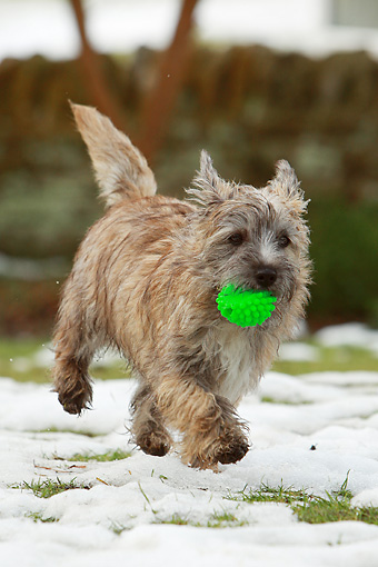 DOG 07 NR0009 01 © Kimball Stock Mixed Breed Terrier Running On Snow And Grass Carrying Toy In Mouth