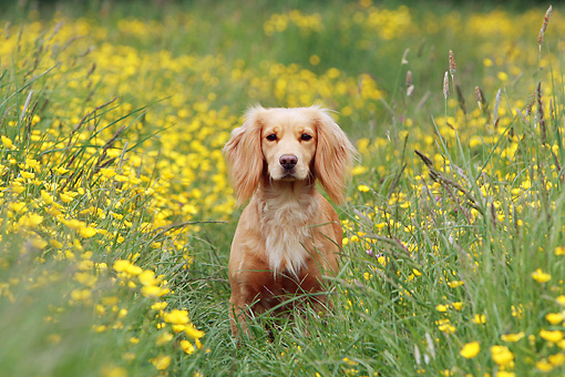 DOG 07 NR0012 01 © Kimball Stock Mixed Breed Spaniel Sitting In Field Of Yellow Flowers