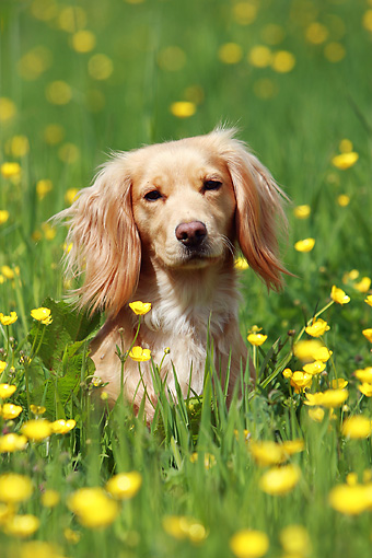 DOG 07 NR0013 01 © Kimball Stock Mixed Breed Spaniel Sitting In Field Of Yellow Flowers