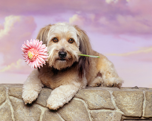 DOG 07 RK0094 05 © Kimball Stock Mixed Breed Laying On Stone Wall With Flower In Mouth Purple Clouds Background
