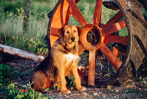 DOG 07 RK0171 10 © Kimball Stock Mixed Breed Sitting On Dirt By Big Wheel At Dusk