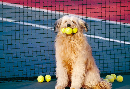 DOG 07 RK0195 01 © Kimball Stock Humorous Shot Mixed Breed Sheppe Sitting On Tennis Court With Balls In Mouth