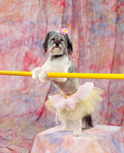 DOG 07 RK0237 01 © Kimball Stock Mixed Breed Standing On Hind Feet Wearing Ballet Tutu Holding Onto Bar With Flower In Hair Mottled Background