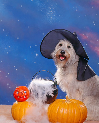 DOG 07 RK0251 05 © Kimball Stock Mixed Breed Sheppe Wearing Witch Hat By Pumpkins