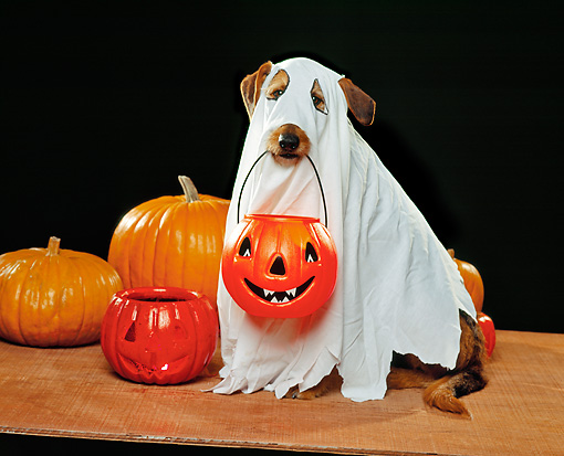 DOG 07 RK0254 03 © Kimball Stock Mixed Breed Magic Wearing Ghost Costume With Pumpkin In Mouth Trick Or Treat