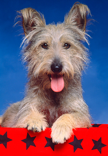 DOG 07 RK0372 02 © Kimball Stock Mixed Breed, Terrier Mix Dog on red material with tongue out