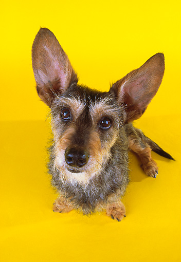 DOG 07 RK0456 13 © Kimball Stock Wirehair Dachshund Terrier Mix Sitting On Yellow Seamless Wide Angle
