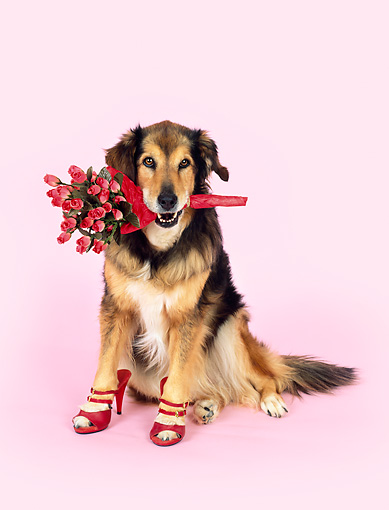 DOG 07 RK0477 02 © Kimball Stock Collie Labrador Mix Sitting Wearing High Heel Shoes Holding Flowers Pink Seamless