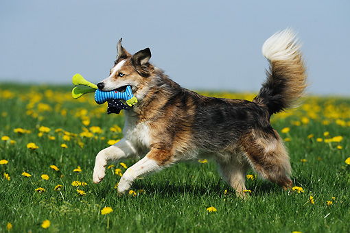 DOG 07 SS0003 01 © Kimball Stock Mixed Breed Dog Playing With Toy On Grass With Dandelions