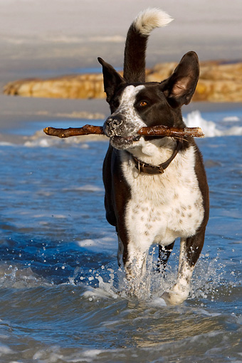 DOG 07 KH0007 01 © Kimball Stock Border Collie Mix Carrying Stick In Surf At Beach