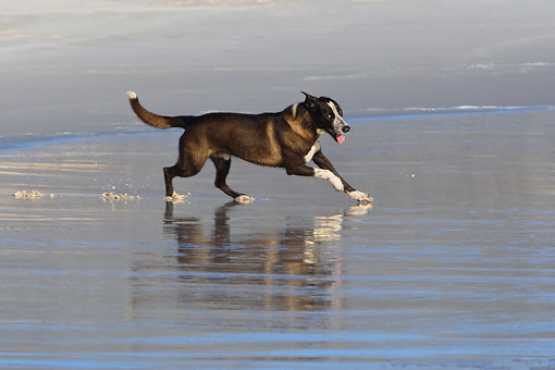 DOG 07 KH0009 01 © Kimball Stock Border Collie Mix Running On Beach