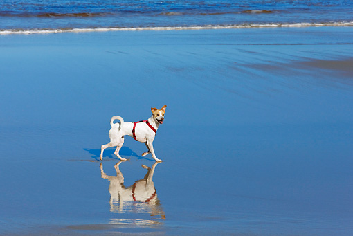 DOG 07 KH0010 01 © Kimball Stock Parson Russell Terrier Mix Running On Beach