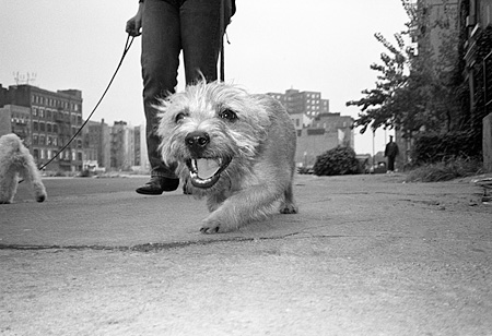 DOG 07 MQ0023 01 © Kimball Stock Mixed Breed Dog Walking On Leash Manhattan New York