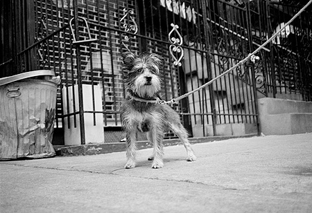 DOG 07 MQ0026 01 © Kimball Stock Mixed Breed On Leash Standing On Pavement  Manhattan New York