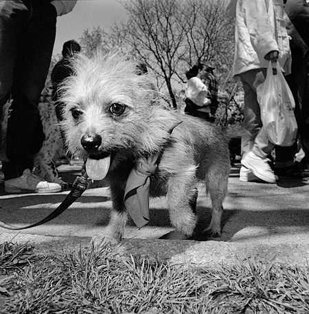 DOG 07 MQ0048 01 © Kimball Stock Mixed Breed Terrier Dog On Leash By People Manhattan New York