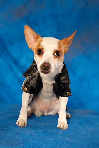 DOG 07 MQ0104 01 © Kimball Stock Humorous Chihuahua-Terrier Mix Wearing Black Leather Jacket On Blue Background