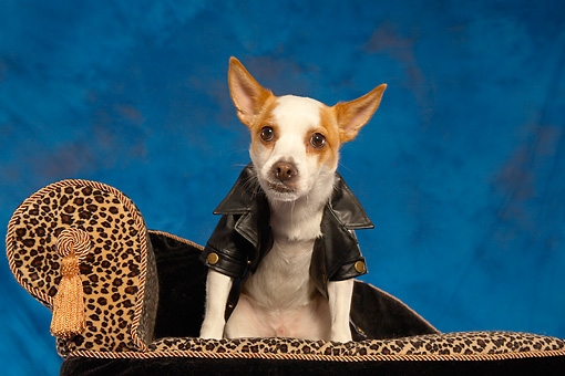 DOG 07 MQ0105 01 © Kimball Stock Humorous Chihuahua-Terrier Mix Wearing Black Leather Jacket On Couch Blue Background