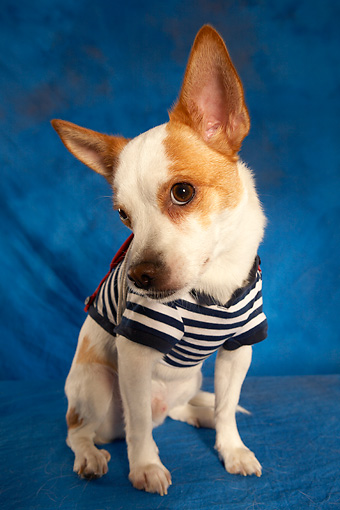 DOG 07 MQ0106 01 © Kimball Stock Humorous Chihuahua-Terrier Mix Wearing Blue And White Striped Shirt On Blue Background