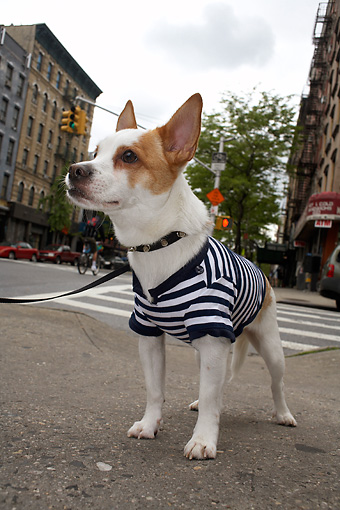 DOG 07 MQ0107 01 © Kimball Stock Humorous Chihuahua-Terrier Mix Wearing Blue And White Striped Shirt In City