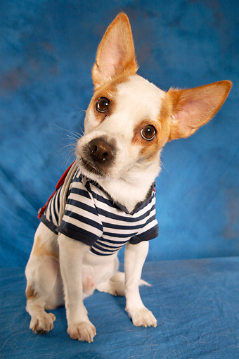 DOG 07 MQ0108 01 © Kimball Stock Humorous Chihuahua-Terrier Mix Wearing Blue And White Striped Shirt On Blue Background