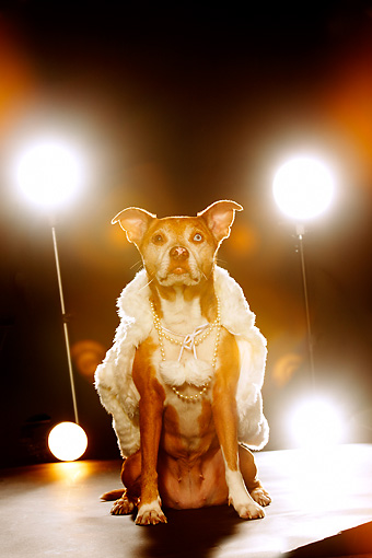 DOG 07 MQ0109 01 © Kimball Stock Humorous Mixed Breed Brown And White Dog Wearing Cape Under Stage Lights
