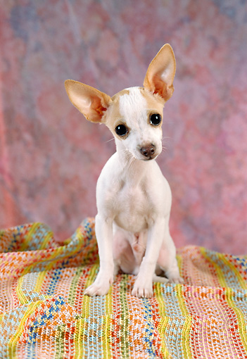 DOG 07 RC0001 01 © Kimball Stock Chihuahua-Terrier Mix Sitting On Colorful Striped Blanket Studio