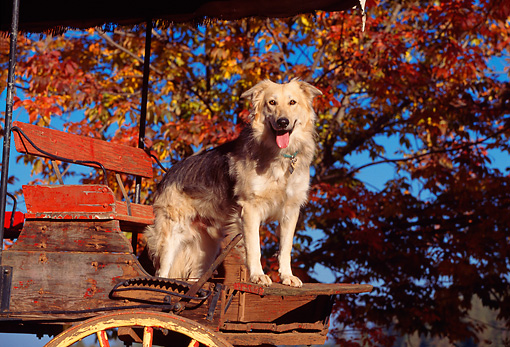 DOG 07 RK0005 02 © Kimball Stock Mixed Breed Dog Sitting In Wagon