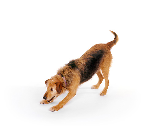 DOG 07 RK0029 02 © Kimball Stock Mixed Breed Magic Stretching Out On White Seamless