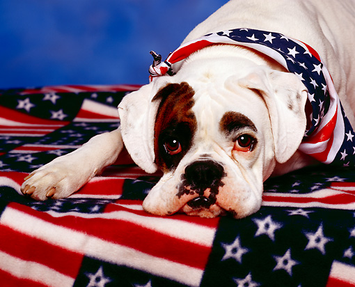 DOG 07 RK0081 07 © Kimball Stock Boxer Laying With Head Down On Blanket With American Flag Motif