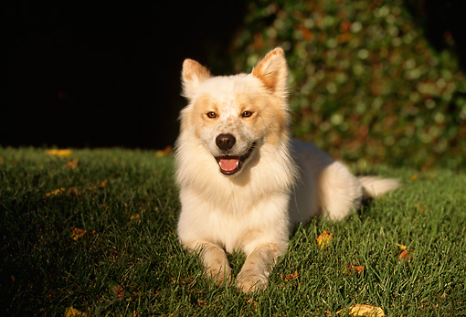 DOG 07 RK0114 04 © Kimball Stock Mixed Breed Dog Laying On Grass