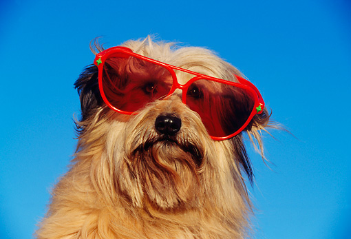 DOG 07 RK0143 03 © Kimball Stock Humorous Head Shot Of Mixed Breed Wearing Sunglasses