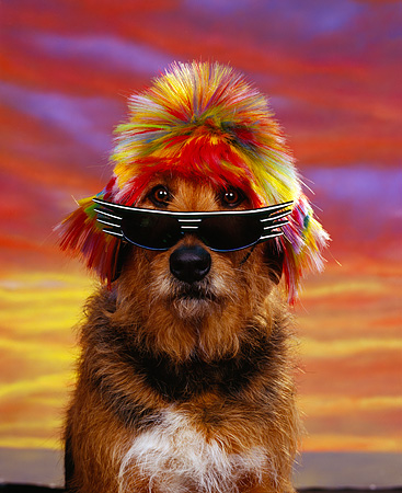DOG 07 RK0158 02 © Kimball Stock Airedale Mix Breed Magic Wearing Sunglasses And Wig Sunset Background