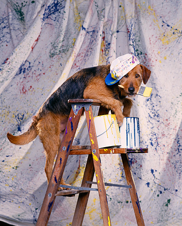 DOG 07 RK0186 01 © Kimball Stock Mixed Breed Leaning Over Ladder Wearing Hat By Splattered Paint