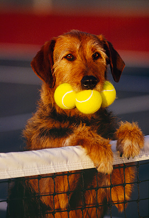 DOG 07 RK0190 12 © Kimball Stock Humorous Shot Mixed Breed Magic Leaning On Net With Tennis Balls In Mouth