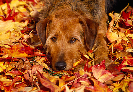 DOG 07 RK0202 18 © Kimball Stock Head Shot Of Mixed Breed Laying With Head Down On Fall Colored Leaves