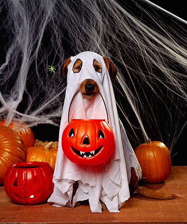 DOG 07 RK0253 09 © Kimball Stock Mixed Breed Magic Wearing Ghost Costume With Pumpkin In Mouth Webs Background