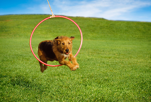 DOG 07 RK0258 05 © Kimball Stock Mixed Breed Jumping Through Hoop On Grass