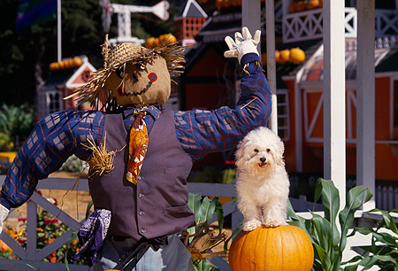 DOG 07 RK0259 07 © Kimball Stock Mixed Breed Poodle Sitting On Pumpkin By Scarecrow At Pumpkin Patch