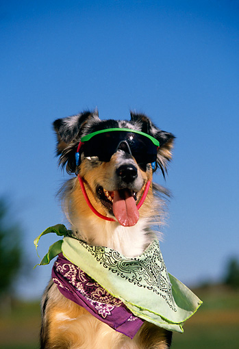 DOG 07 RK0324 01 © Kimball Stock Humorous Shot Of Mixed Breed Wearing Sunglasses And Bandanas Around Neck Blue Sky