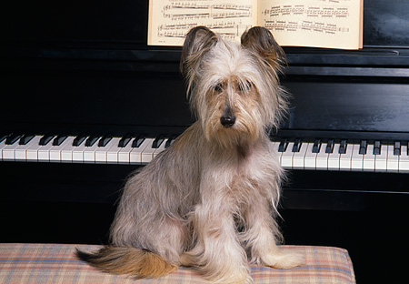 DOG 07 RK0337 01 © Kimball Stock Mixed Breed Dog Sitting On Piano Bench By Piano Facing Camera