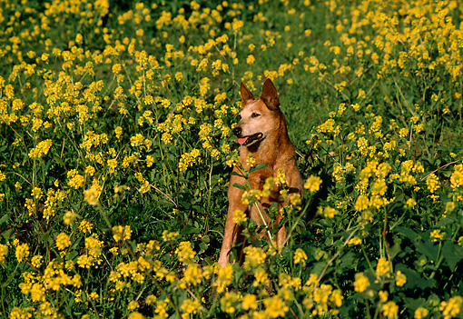 DOG 07 RK0361 02 © Kimball Stock Head Shot Of Mixed Breed Sitting In Yellow Flower Field