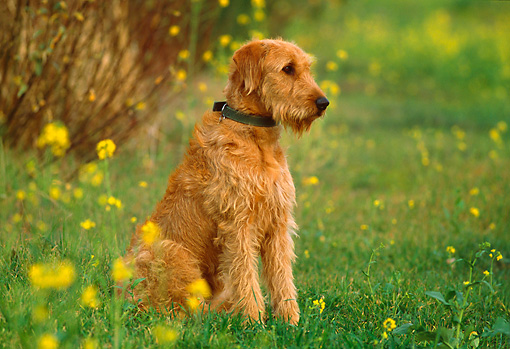 DOG 07 RK0442 04 © Kimball Stock Airedale Terrier Mix Sitting On Grass
