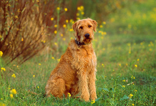 DOG 07 RK0442 13 © Kimball Stock Airedale Terrier Mix Sitting On Grass