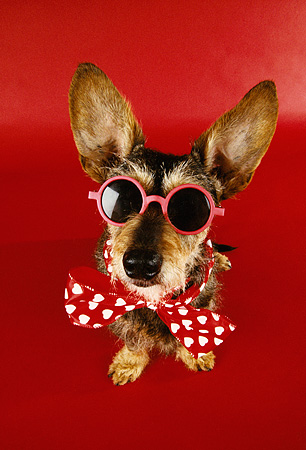 DOG 07 RK0452 11 © Kimball Stock Humorous Shot Of Wirehair Dachshund Terrier Mix Wearing Bow Tie And Glasses On Red Seamless