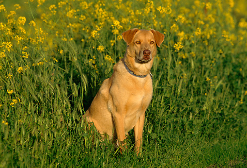 DOG 07 RK0472 08 © Kimball Stock Mixed Breed Sitting In Yellow Flower Field